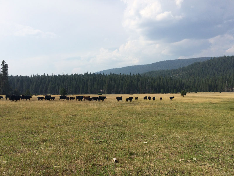 Cattle on public lands