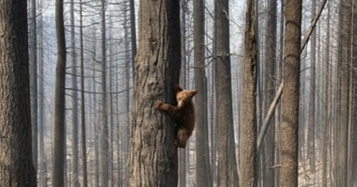 A bear cub post fire